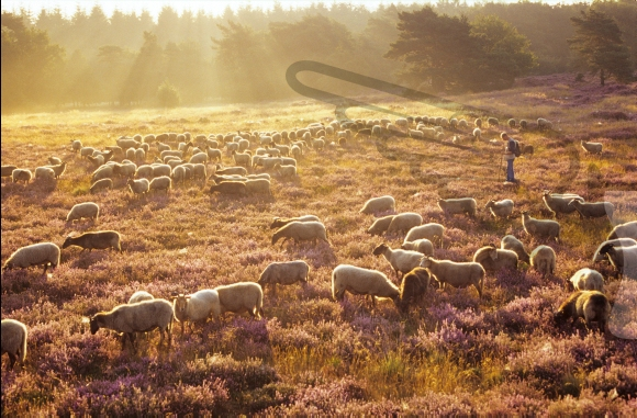 Netherlands, Havelte. Shepherd and his flock of sheep in a field of heath on an early summer morning. Havelterberg.