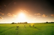 Sunrise over a meadow with cows near the village of Schoorl