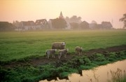 sheep in a meadow covered in morning dew near Amsterdam