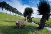 Pollard willows and a sheep alongside a dyke