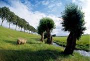 Pollard willows and a sheep next to a dyke