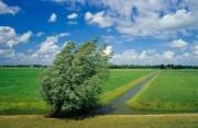 Pollard willows next to a ditch