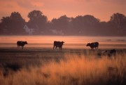 Cows in a meadow during sunset