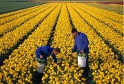 Bulbgrowers checking tulips in a bulbfield
