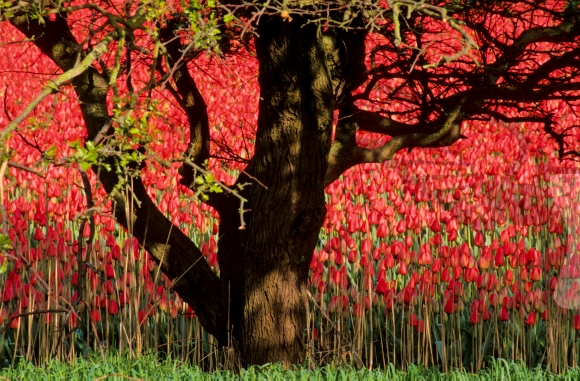 Tree in front of a bulb field and red tulips
