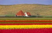Farmhouse between bulb fields