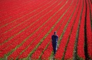 Bulbgrower checking on his tulips