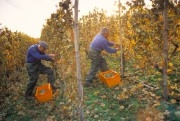 Winegrowers harvesting grapes