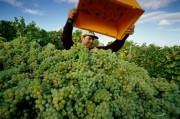 Winegrower harvesting grapes at a vineyard  'Apostelhoeve