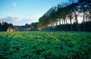 Field of sugar beets and farm