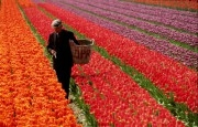 Bulbgrower in a field of tulips