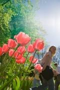 Blooming tulips in the  Keukenhof Flower Exhibition