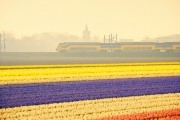 Early morning train passing a bulb field