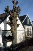 Old lime tree in front of a house.